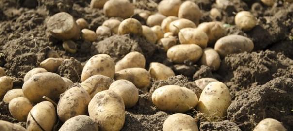 potatoes_1